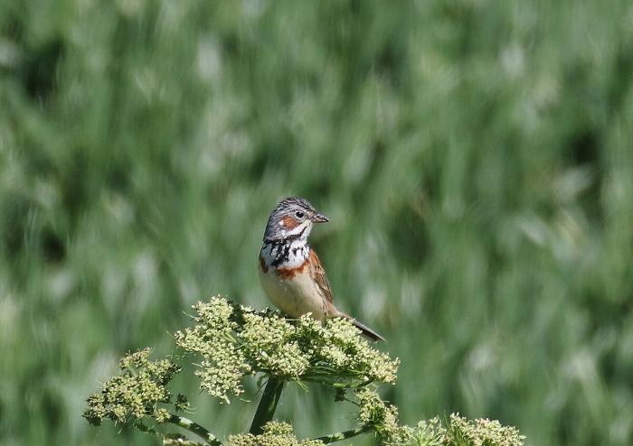 河原の夏鳥_c0113597_14311125.jpg