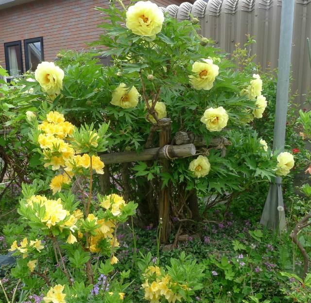 牡丹/ Tree Peony_e0120899_11434804.jpg