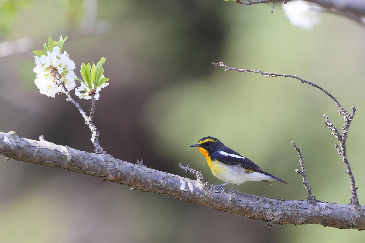 春の鳥撮りは・・・・・・・_c0295707_16003513.jpg