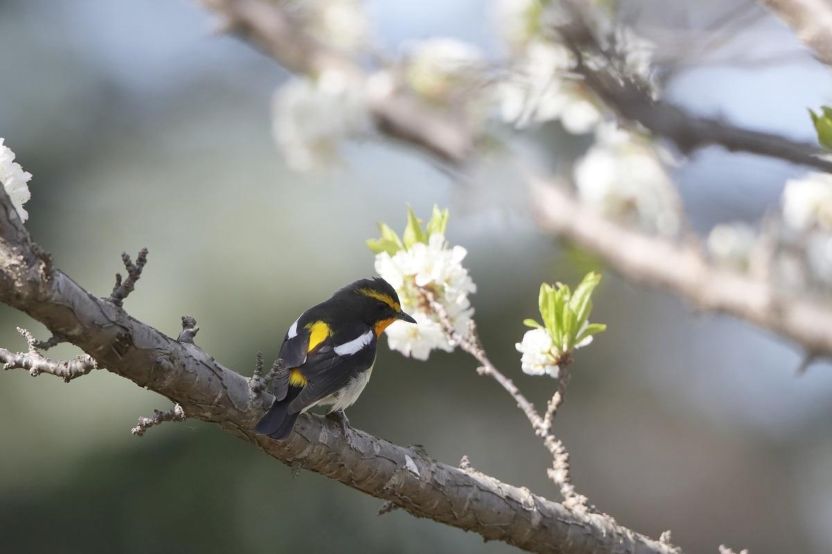 春の鳥撮りは・・・・・・・_c0295707_16004354.jpg