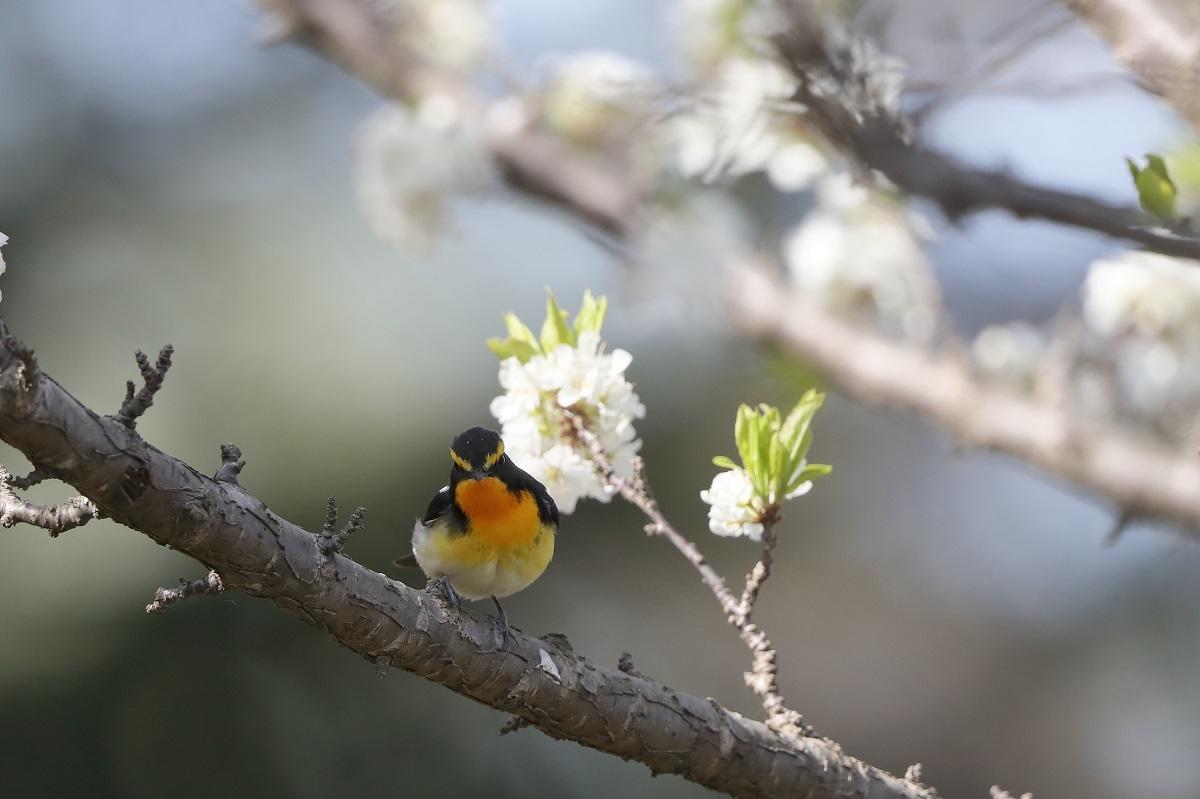 春の鳥撮りは・・・・・・・_c0295707_16004608.jpg