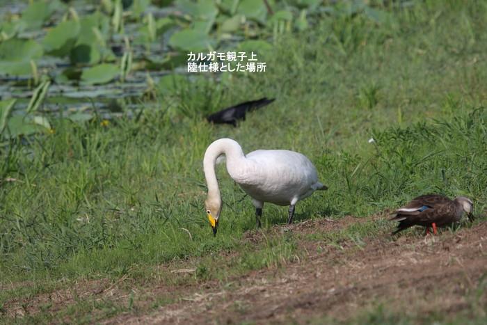 カルガモの親子 (7羽の雛と)_f0239515_1872647.jpg