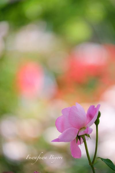 薔薇 **_d0344864_22525438.jpg