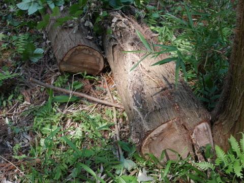 やはり間伐は危険で難しい5・30六国見山臨時手入れ_c0014967_08544605.jpg