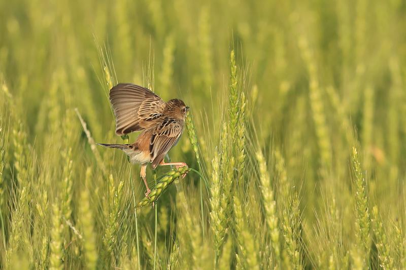 麦畑の・・・_f0368272_21573885.jpg