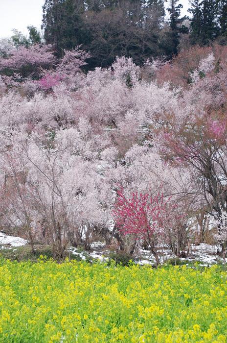 桜物語 2019 春 その7 花見山公園_d0016587_18311202.jpg