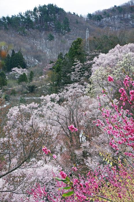 桜物語 2019 春 その7 花見山公園_d0016587_18311738.jpg