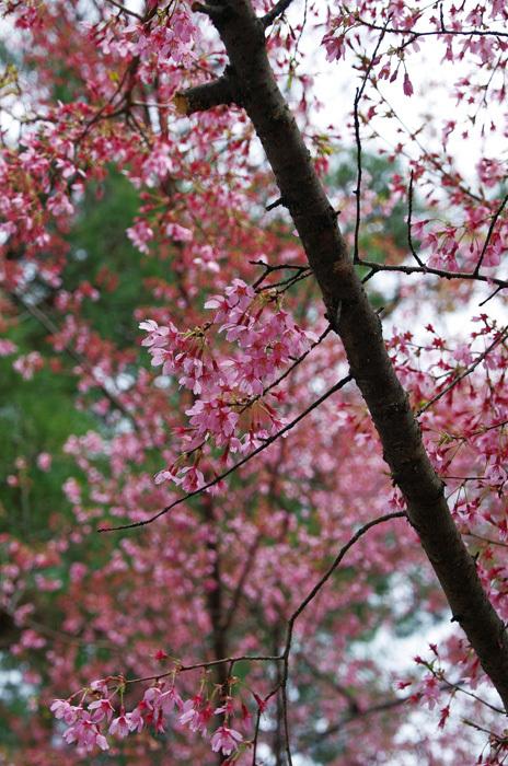 桜物語 2019 春 その7 花見山公園_d0016587_18312122.jpg