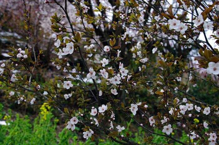 桜物語 2019 春 その7 花見山公園_d0016587_18312884.jpg