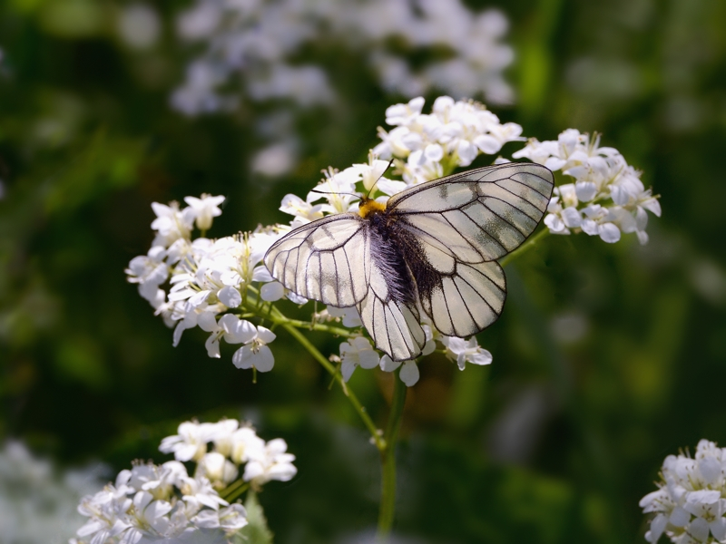 春の妖精・蝶たち(山麓のウスバシロチョウ)_a0204089_2363838.jpg