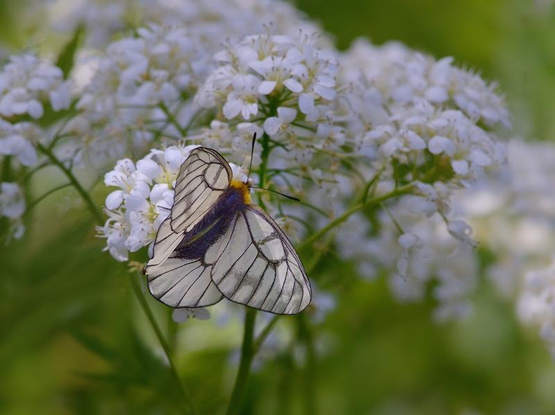 春の妖精・蝶たち(山麓のウスバシロチョウ)_a0204089_2364638.jpg
