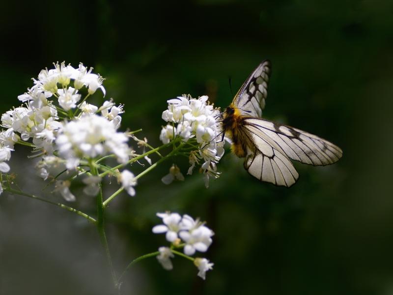 春の妖精・蝶たち(山麓のウスバシロチョウ)_a0204089_2365250.jpg