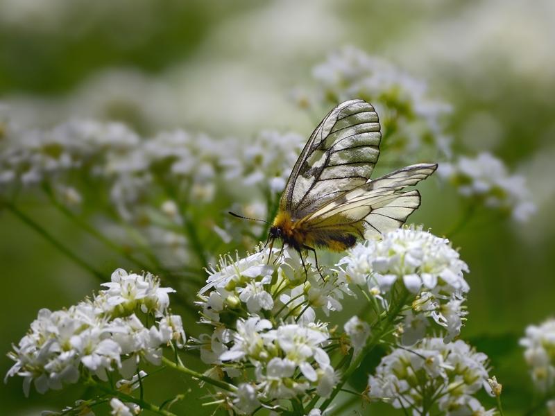 春の妖精・蝶たち(山麓のウスバシロチョウ)_a0204089_237187.jpg