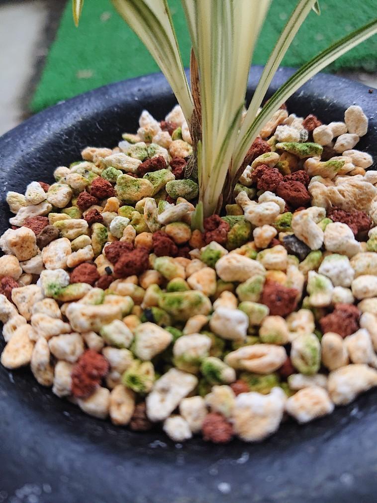 春蘭の新芽パート2_f0356792_14382007.jpg