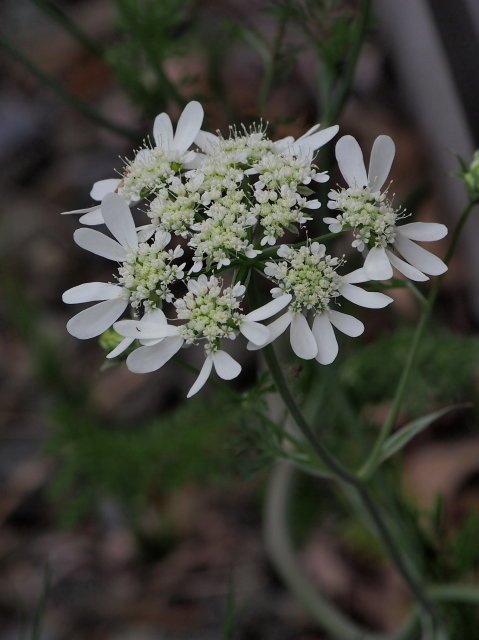 たまには花画像 アムソニアほか_c0360399_21212169.jpg