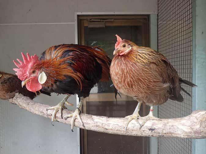 智光山公園こども動物園:ふれあい広場の多彩な鳥たち~色鮮やかな鳥たちとカラフトフクロウ_b0355317_20470781.jpg