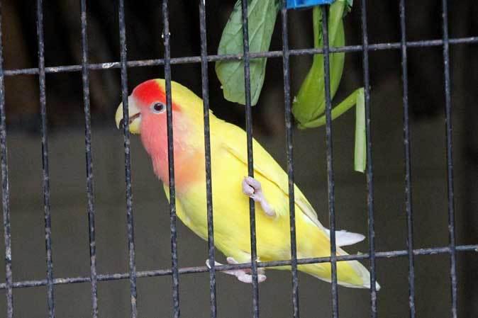 智光山公園こども動物園:ふれあい広場の多彩な鳥たち~色鮮やかな鳥たちとカラフトフクロウ_b0355317_20594323.jpg