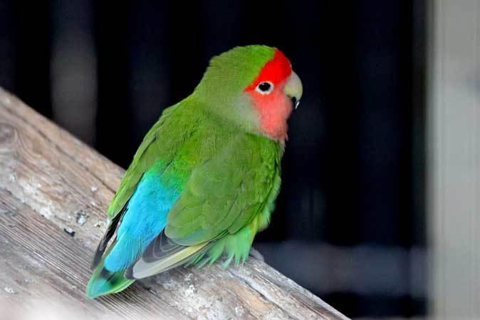 智光山公園こども動物園:ふれあい広場の多彩な鳥たち~色鮮やかな鳥たちとカラフトフクロウ_b0355317_21003666.jpg