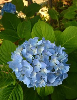 梅雨入りはまだですが紫陽花はそろそろ見ごろ・・・_c0036138_19381276.jpg
