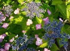 梅雨入りはまだですが紫陽花はそろそろ見ごろ・・・_c0036138_19441754.jpg