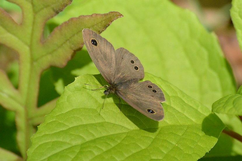 今時の浅間高原の蝶達_e0405343_19202302.jpg