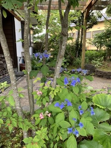 梅雨入りした宮崎・・・紫陽花が似合います_b0137969_06562298.jpeg