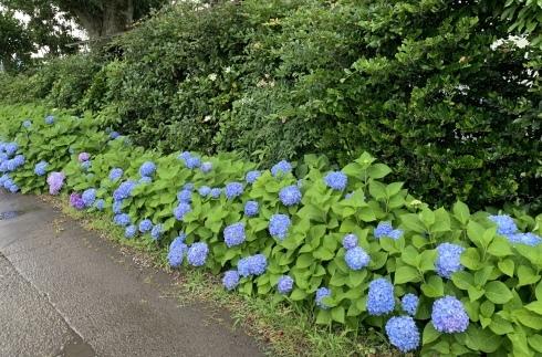 梅雨入りした宮崎・・・紫陽花が似合います_b0137969_07060333.jpeg