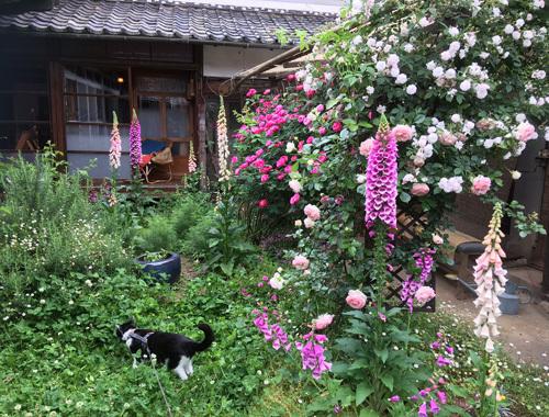 古民家の庭にて 〜咲き乱れるバラの庭とノイと。〜_d0077603_08312654.jpg