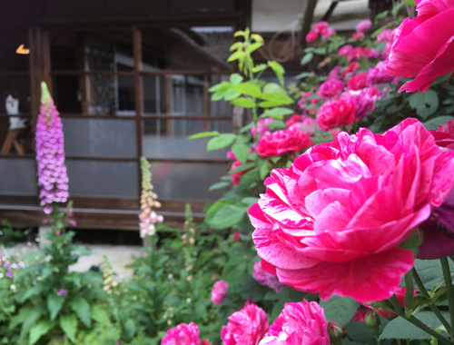 古民家の庭にて 〜咲き乱れるバラの庭とノイと。〜_d0077603_08313381.jpg