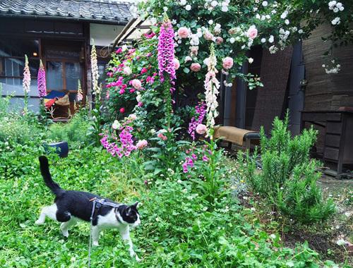 古民家の庭にて 〜咲き乱れるバラの庭とノイと。〜_d0077603_08315199.jpg
