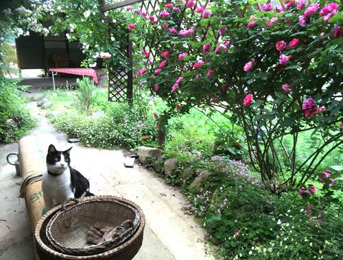 古民家の庭にて 〜咲き乱れるバラの庭とノイと。〜_d0077603_08394823.jpg