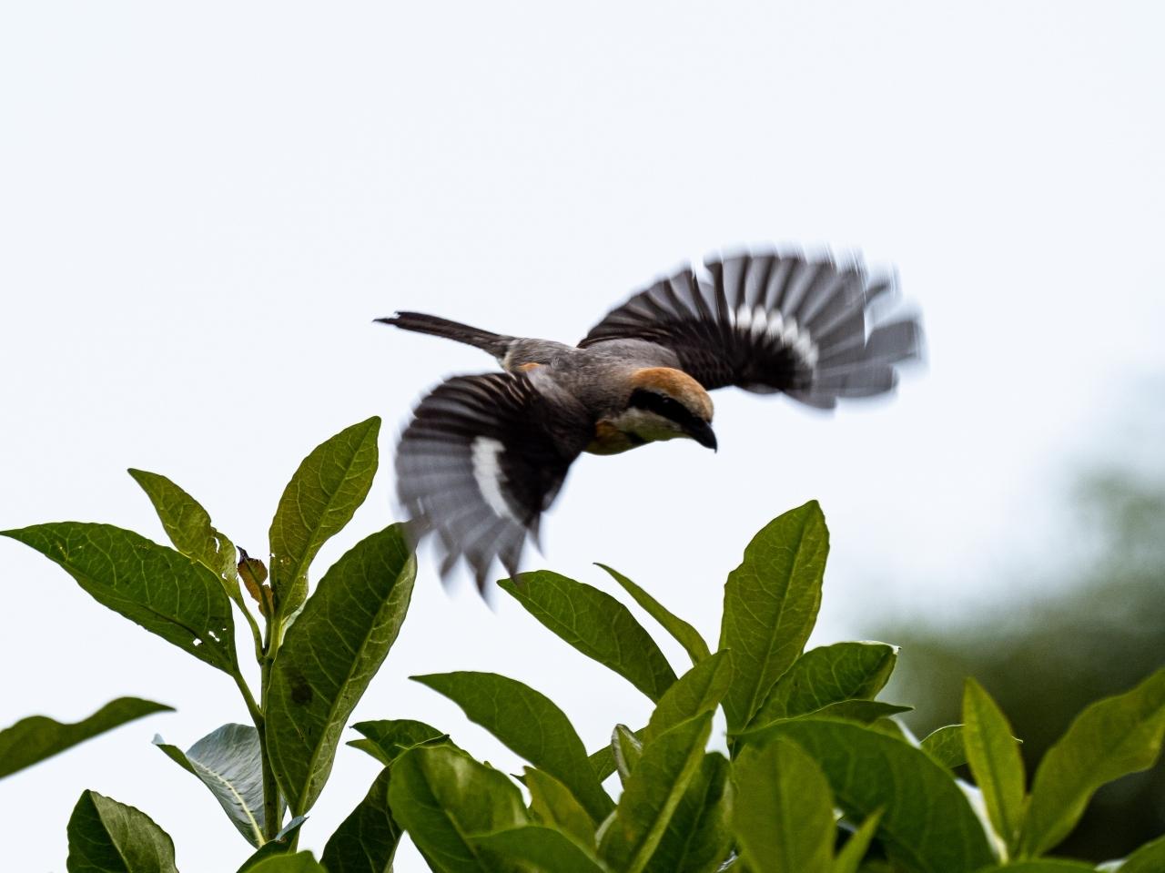 百舌鳥の飛翔のあれこれ_d0192516_20102804.jpg