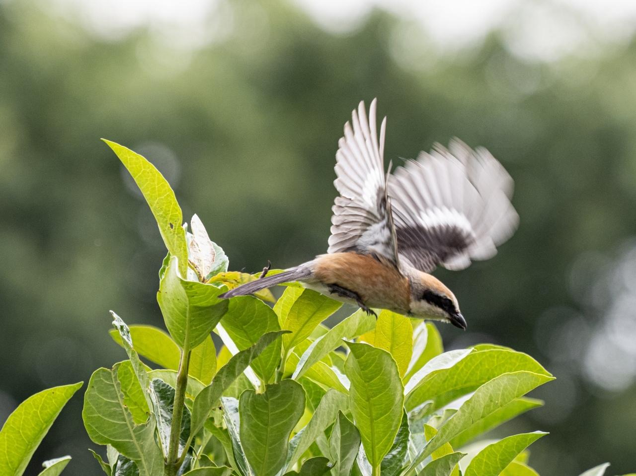 百舌鳥の飛翔のあれこれ_d0192516_20104056.jpg