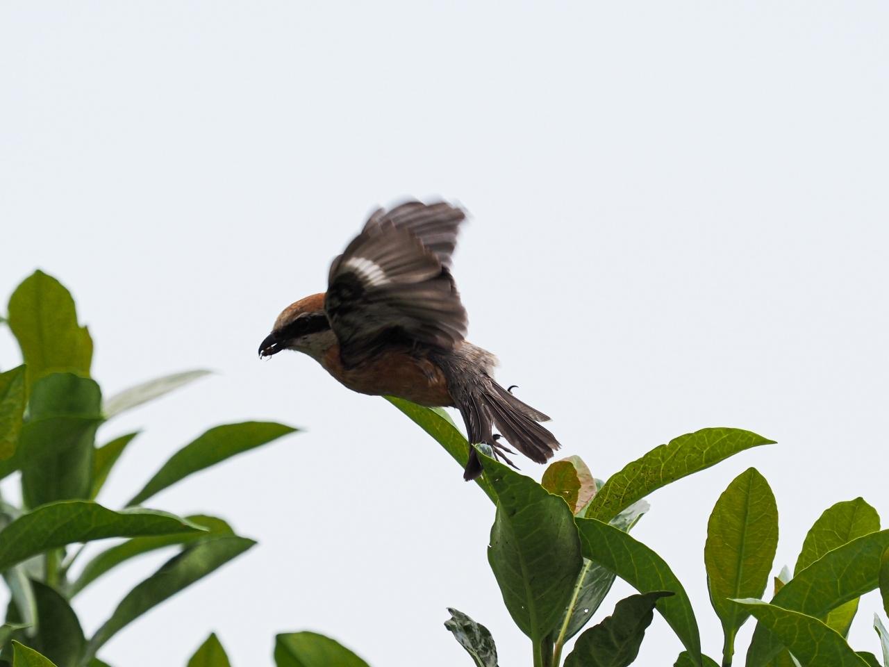 百舌鳥の飛翔のあれこれ_d0192516_20110730.jpg
