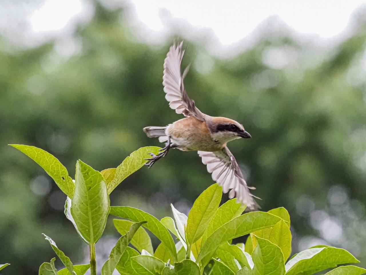 百舌鳥の飛翔のあれこれ_d0192516_20455632.jpg