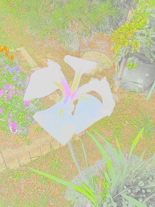 2019年6月10日 水鉢に再び花菖蒲の花が・・・ !(^^)!_b0341140_5201761.jpg