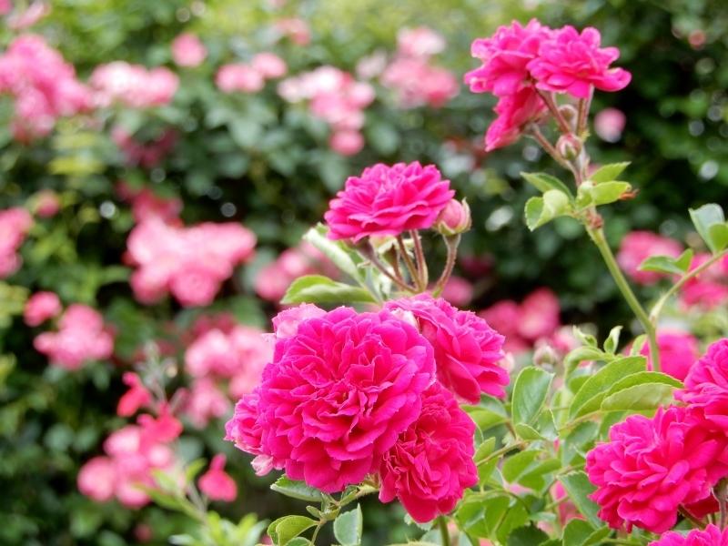 去年(こぞ)の薔薇 🌹  les roses d\' antan_f0374041_07163926.jpg