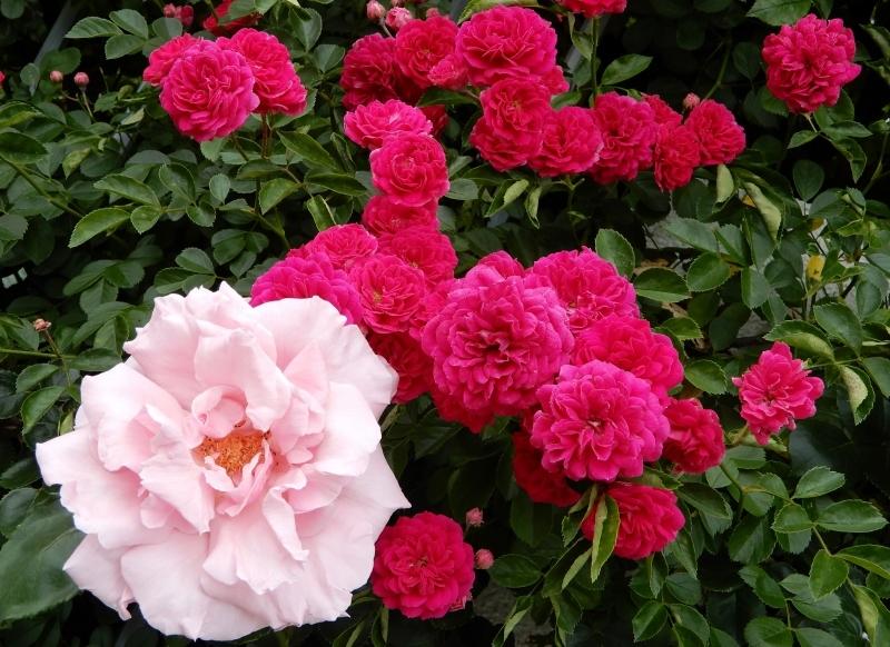去年(こぞ)の薔薇 🌹  les roses d\' antan_f0374041_07172396.jpg