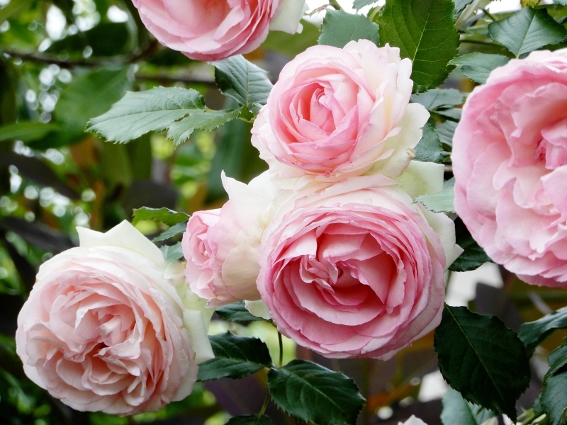 去年(こぞ)の薔薇 🌹  les roses d\' antan_f0374041_07184948.jpg