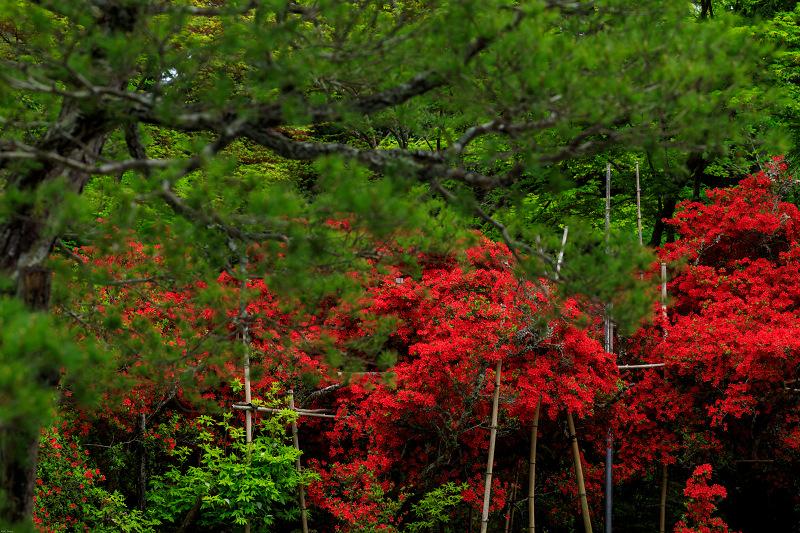 キリシマツツジの庭(曼殊院門跡)_f0155048_23504838.jpg