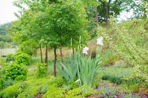 白いジャーマンアイリスが咲き始めた。_c0110869_19102284.jpg