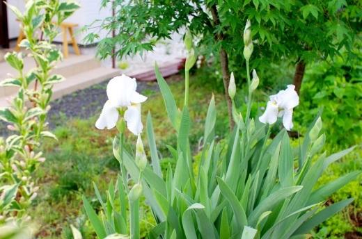白いジャーマンアイリスが咲き始めた。_c0110869_19104510.jpg