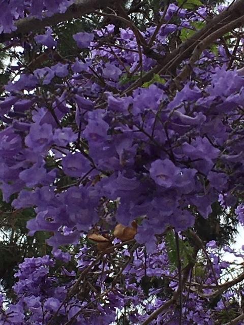 ジャカランダの紫の花_e0350971_13250350.jpg