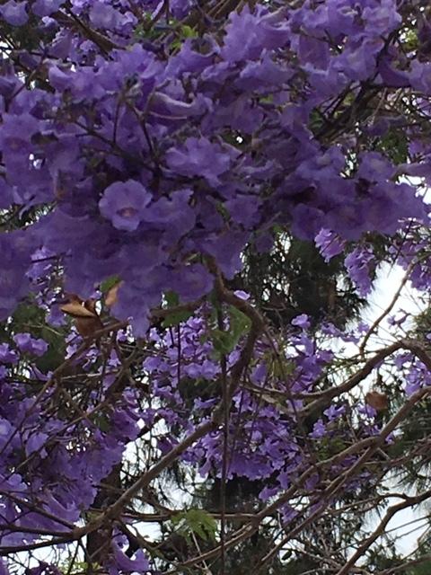 ジャカランダの紫の花_e0350971_13253076.jpg
