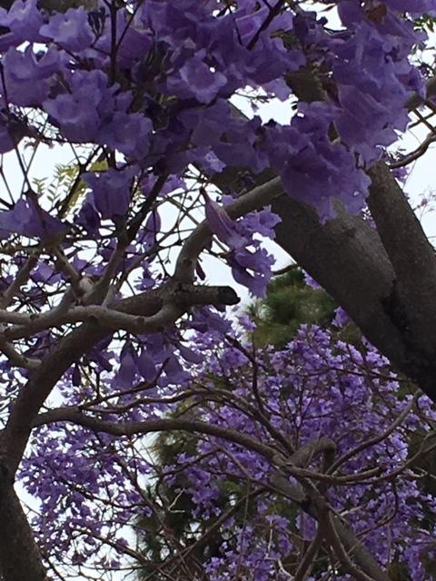 ジャカランダの紫の花_e0350971_13254598.jpg