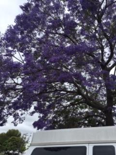 ジャカランダの紫の花_e0350971_13255869.jpg