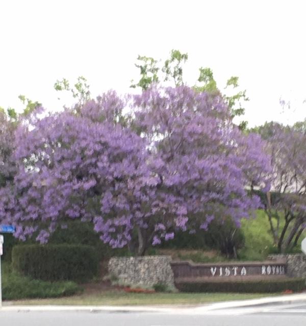 ジャカランダの紫の花_e0350971_13261041.jpg