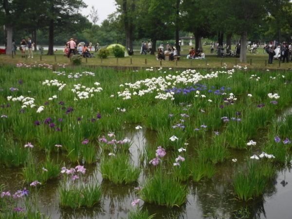 水元公園のショウブの咲き具合情報_d0121678_15421888.jpg