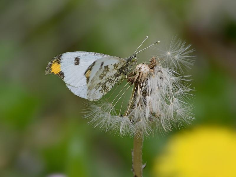 春の妖精・蝶たち(山麓のツマキチョウ)_a0204089_2041110.jpg