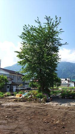 桜の木_a0128408_10015849.jpg